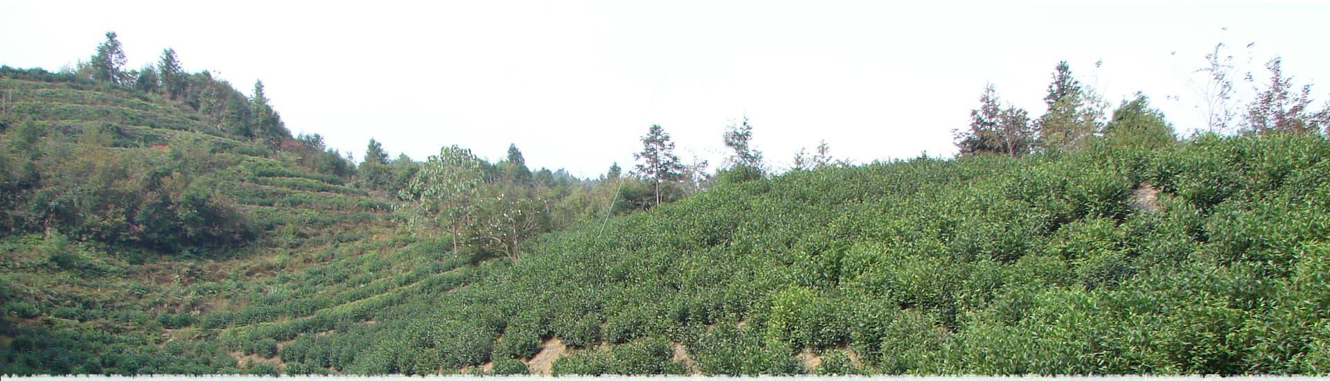 Baita Tea Garden