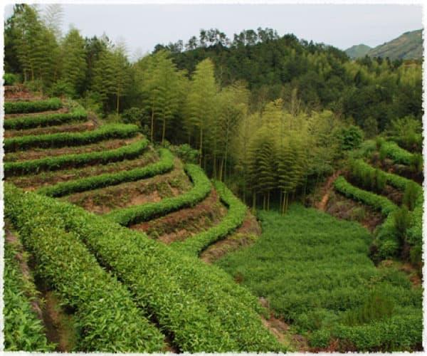 Baiyun Tea Garden