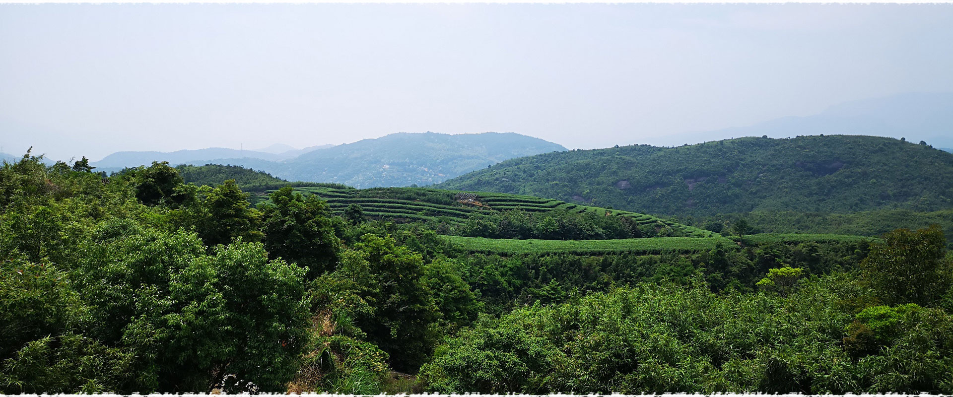Chaitou Shan Tea Garden