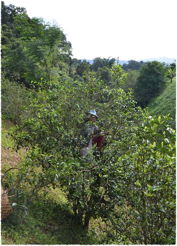 chunjian tea picking