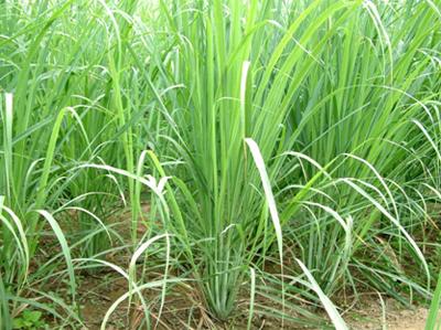 citronnelle grass