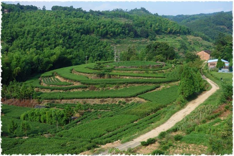 Cixi Tea Garden