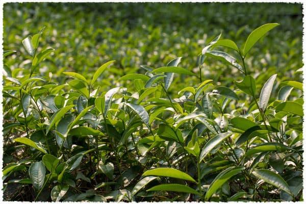 tea bush