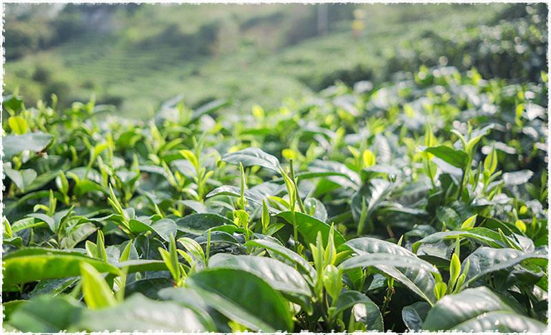 Wenshan Tea Garden