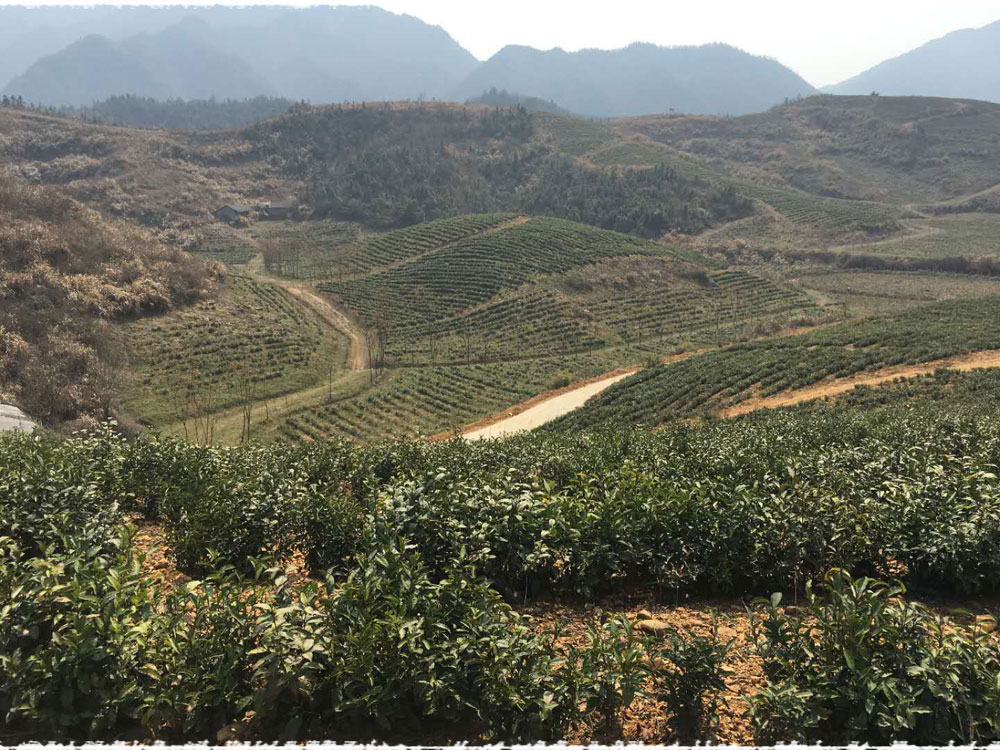 Dongjin tea garden