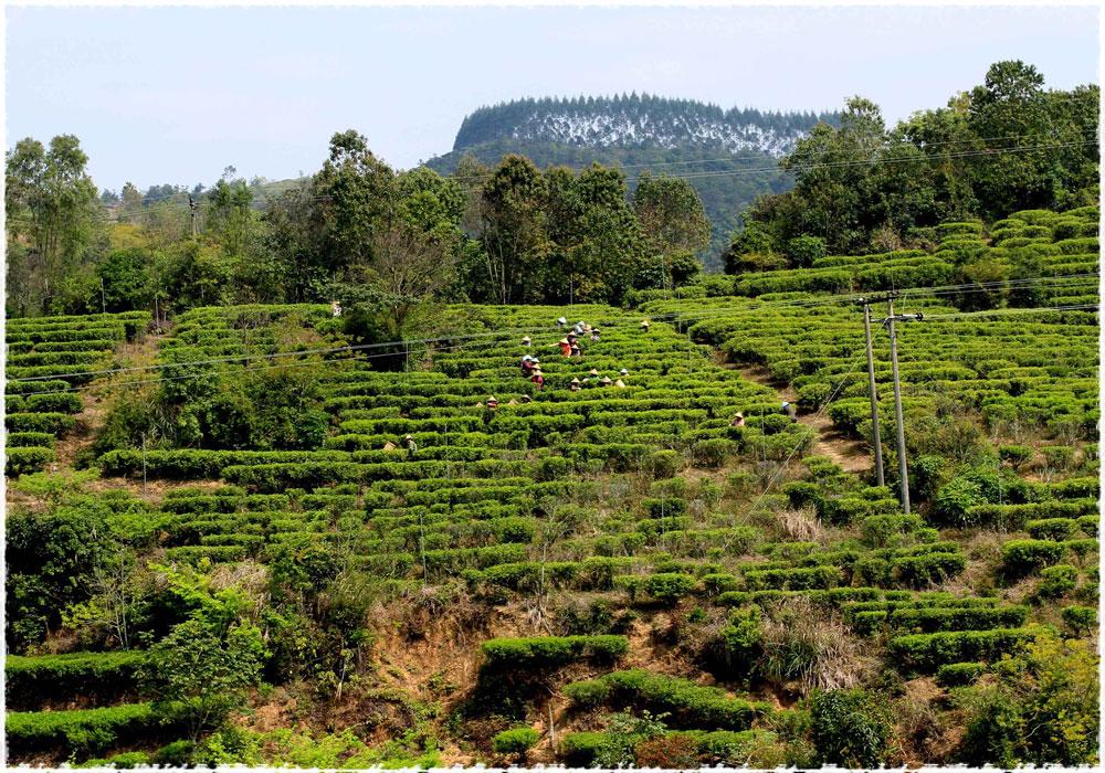 Les jardins du thé
