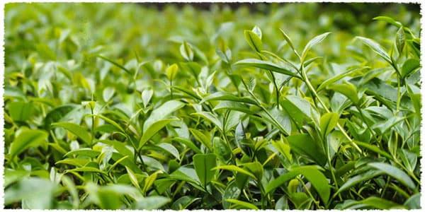 bourgeons et jeunes feuilles de thé
