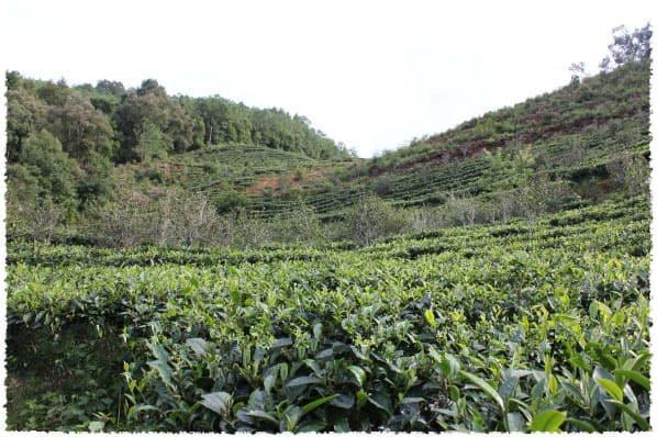 Jiu Tai Po Tea Garden
