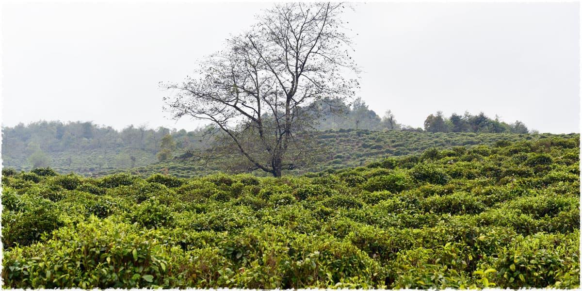 Lida Tea Garden