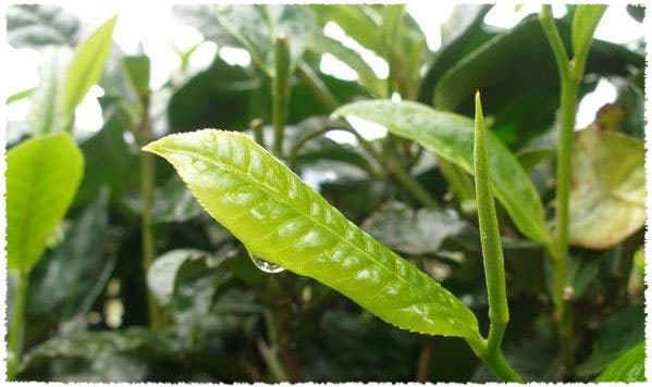 mengku_large_leaf_tea_bush