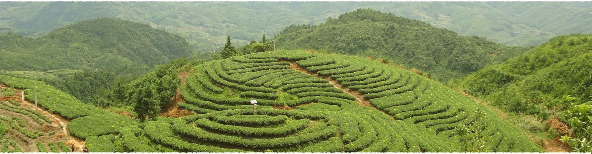 Nan Guang Tea Garden