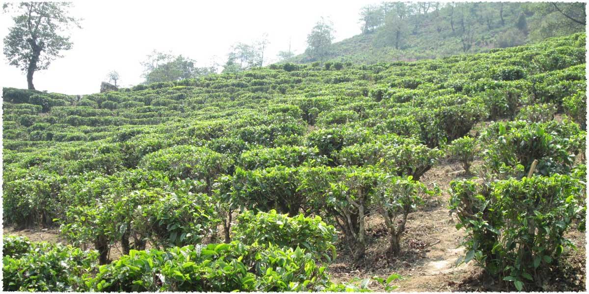 pinghe tea garden