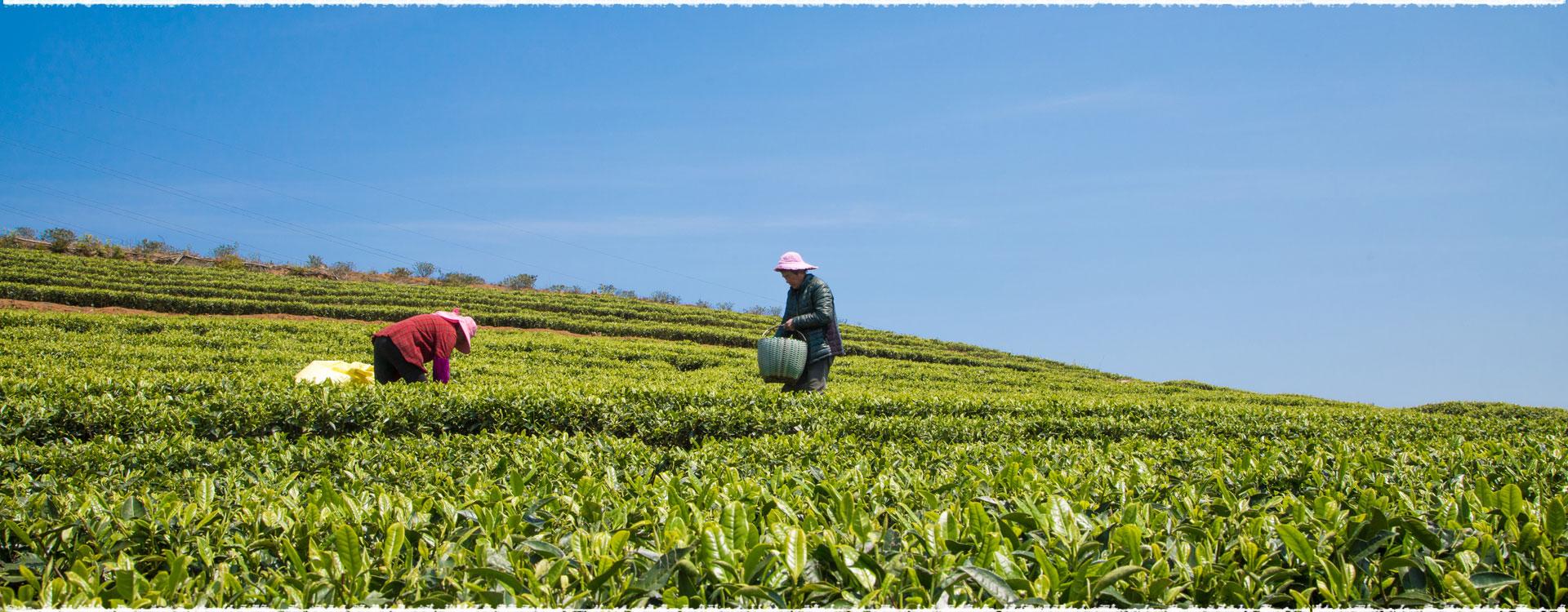 Le jardin de thé Jiayang