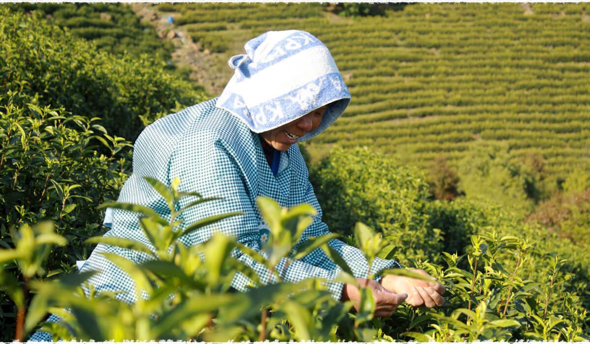 cueillette du thé 2