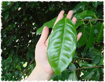fengqing tea tree