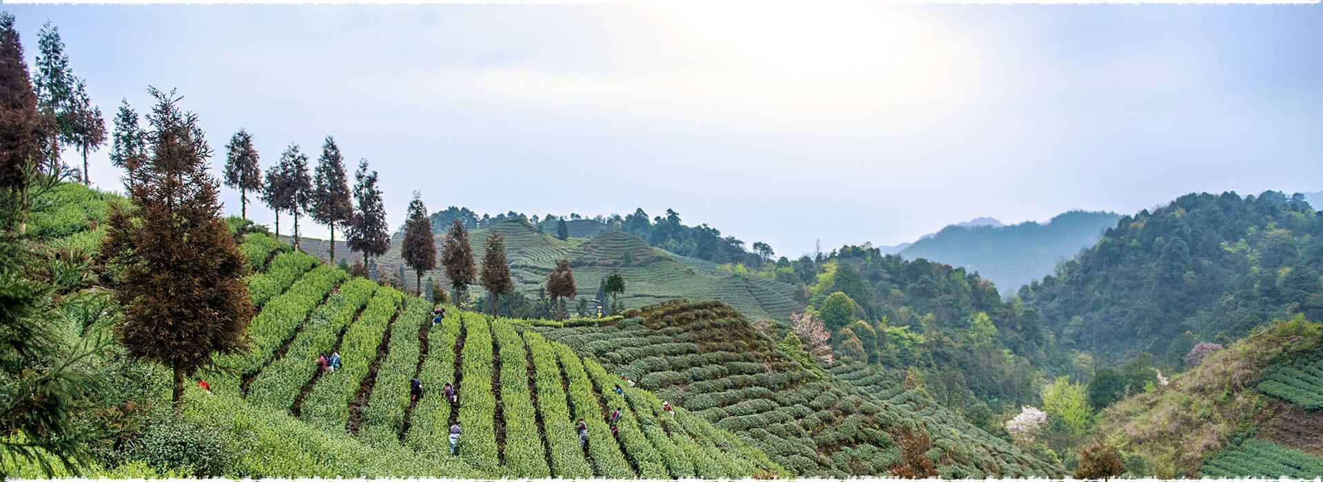 Nanguang Tea Garden