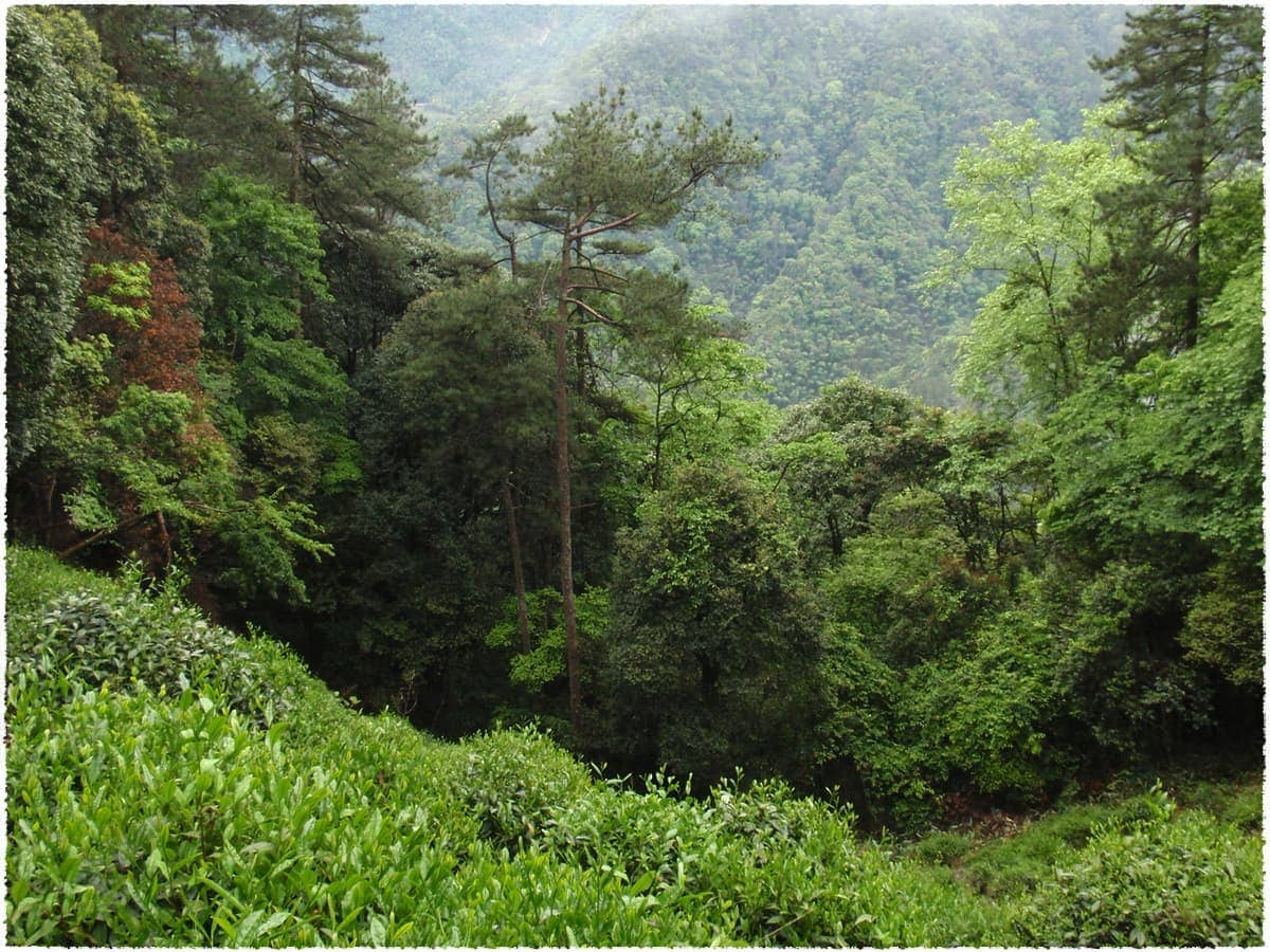 Tongmu Organic Tea Garden