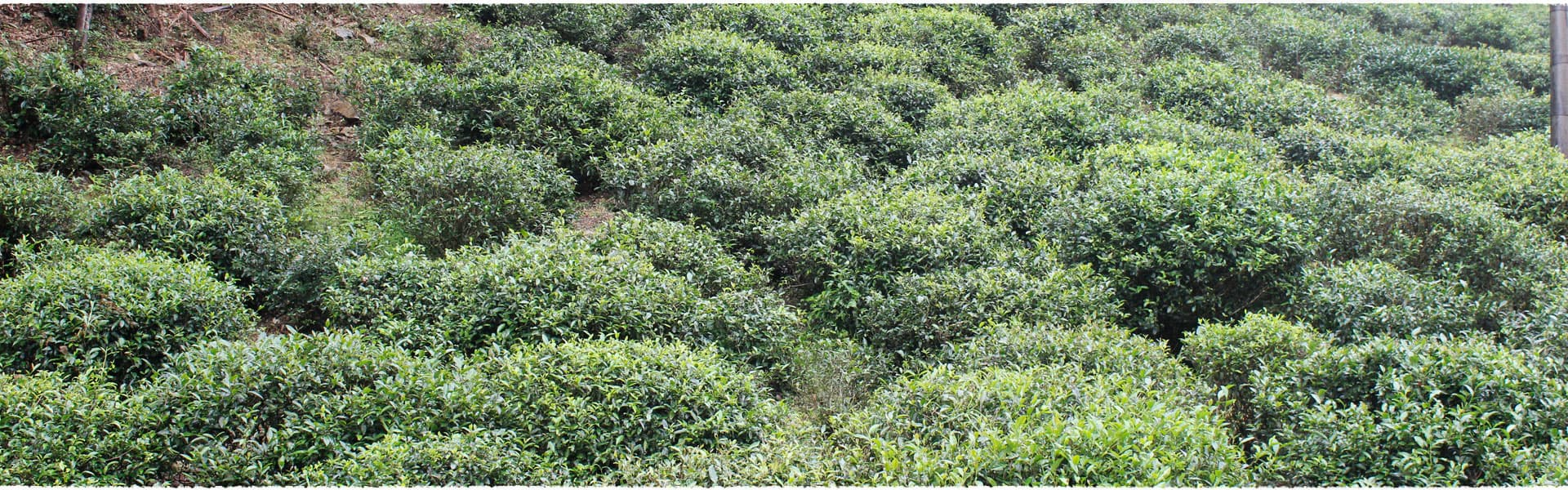 Tongmu Lake Tea Garden