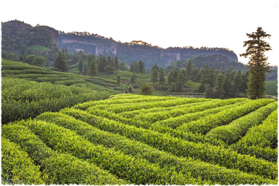 Le jardin du thé 1