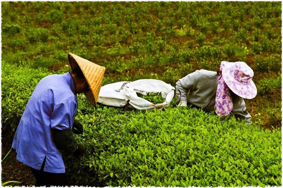 Le jardin du thé 2