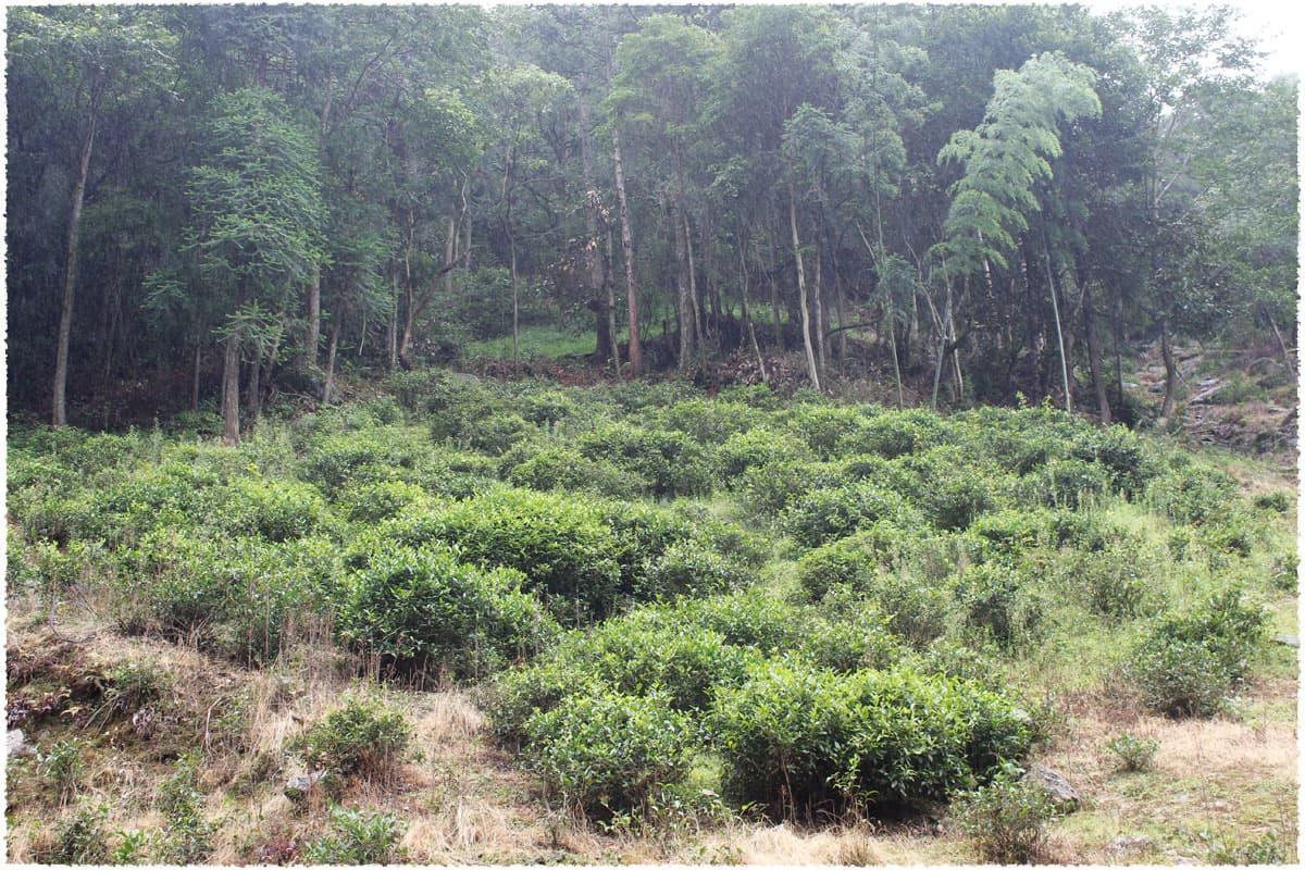 Wild Tea Trees