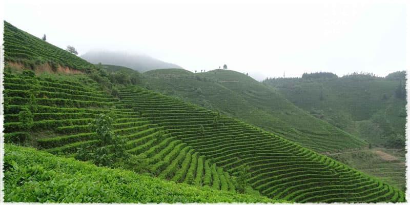 thé vert de Yaming
