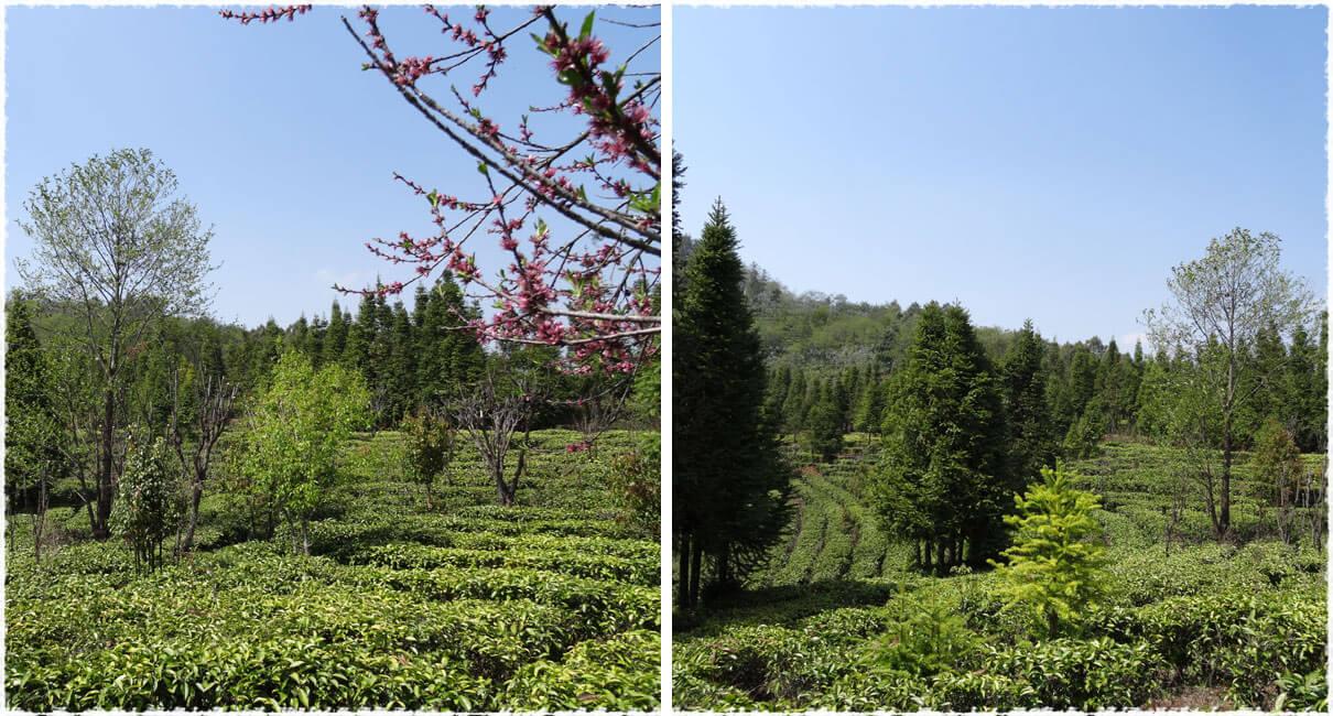 Yaming Tea Garden