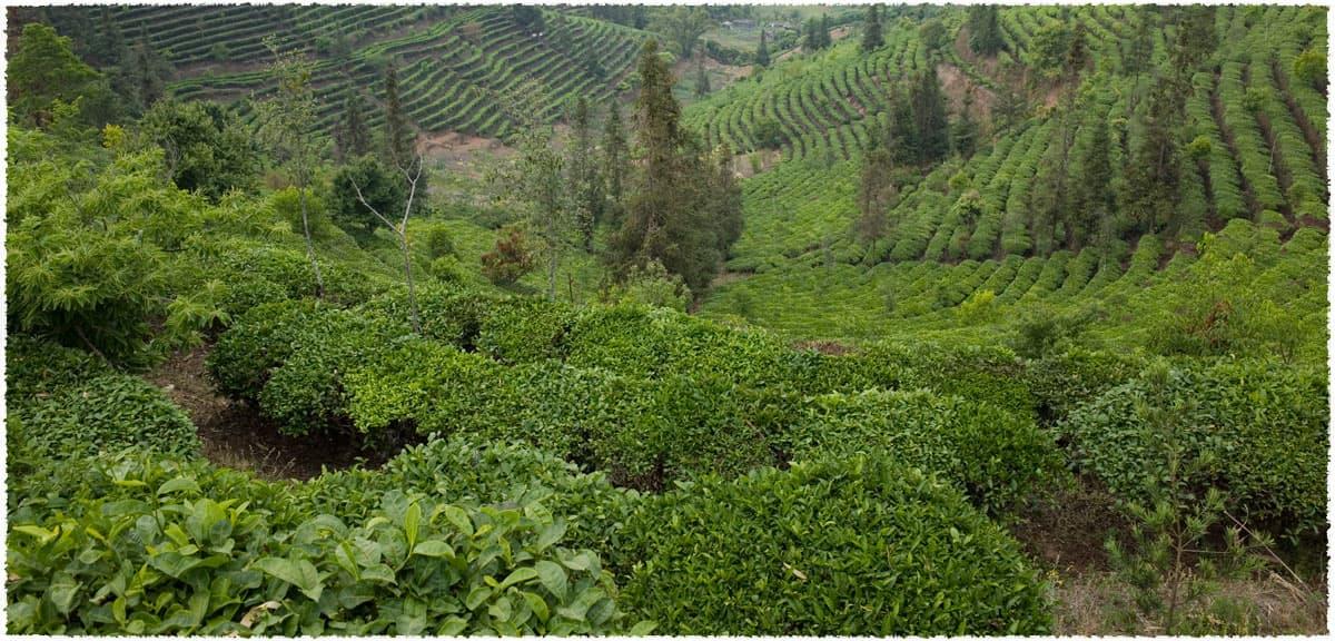 yinpanshan tea garden