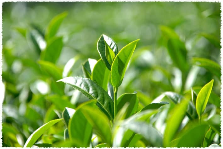 yunnan tea bush